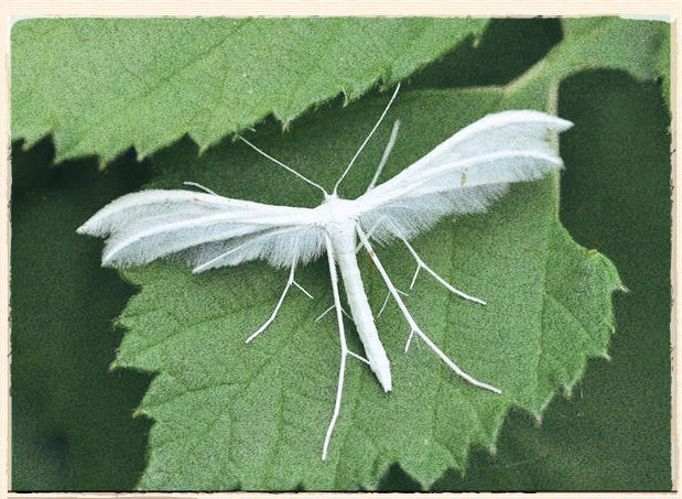 The Dainty White Plume Moth