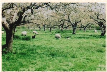 sheep in apple orchard