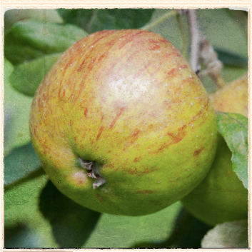 Northern Greening apple