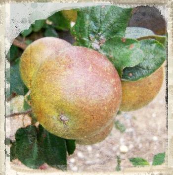 Brown's Seedling apple