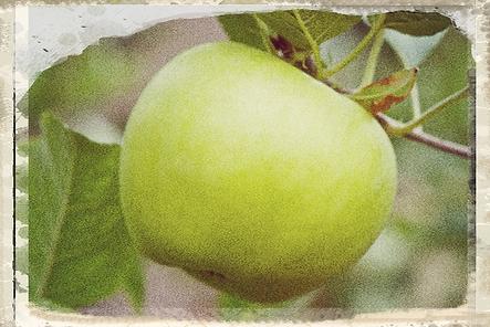 Golden Noble apple