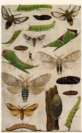 1913 bee hawk-moth lithograph
