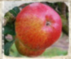 Lord Hindlip apple