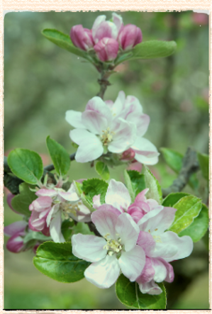 Northern Greening blossom