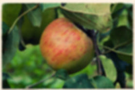Lane's Prince Albert apple