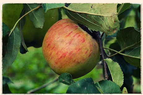 Lane's Prince Albert apple