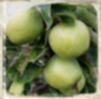 Lord Derby apple