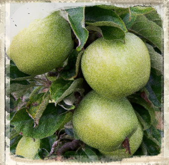 Lord Derby apple