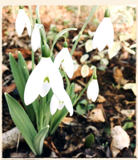 January in the Gardens: Painters and Perfumed Snowdrops.