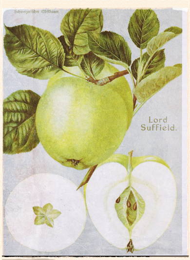Lord Suffield apple
