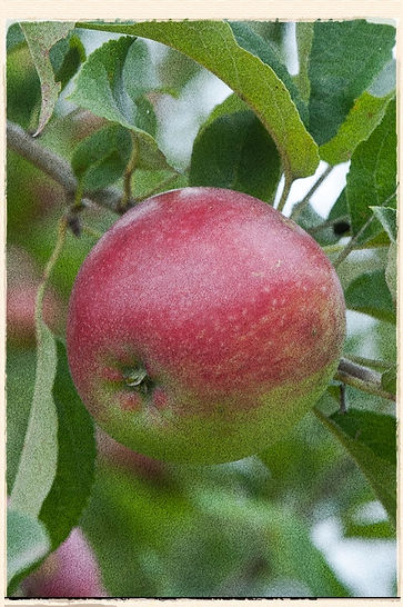 Worcester Pearmain apple