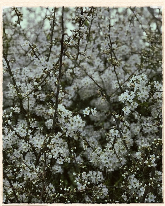 Wild Trees In Blossom by H E Bates