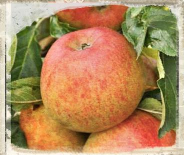 Merton Beauty apple