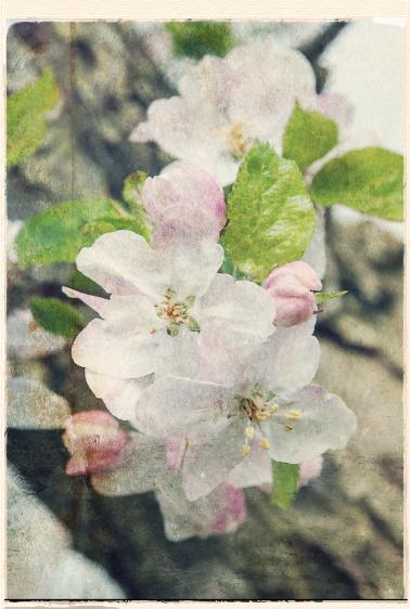 Belle De Boskoop blossom by Alan Buckingham