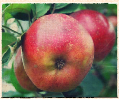 Lord Burghley apple