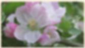 Nonpareil blossom