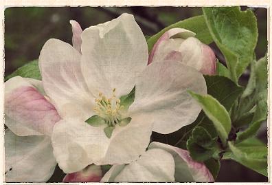 cornish aromatic blossom