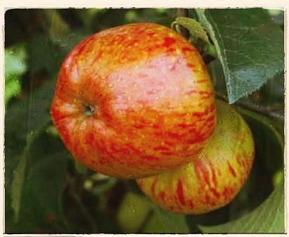 Lady Sudeley apple