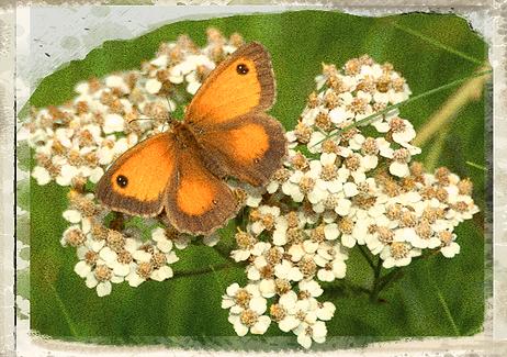 Gatekeeper butterfly by Brian Fuller