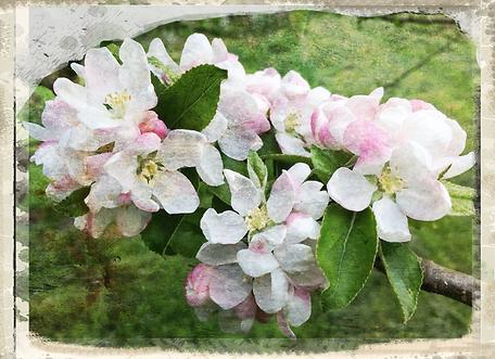 Nelson's Codlin blossom