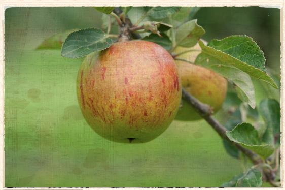 Our Apple For September: Ellison's Orange