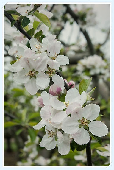 Barnack Beauty blossom by Alan Buckingham