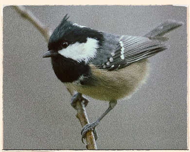 coal tit by Michael Nordeman