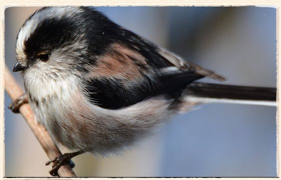 'A Bauble With A Tail' - the Long-Tailed Tit