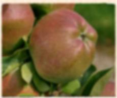 London Pippin apple