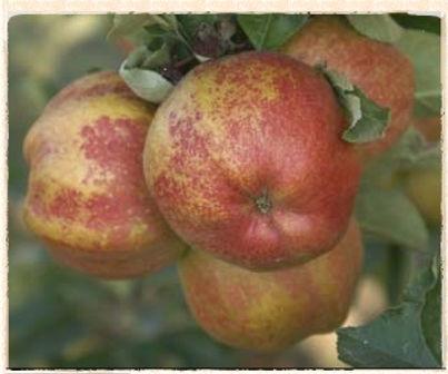cornish aromatic by keepers nursery