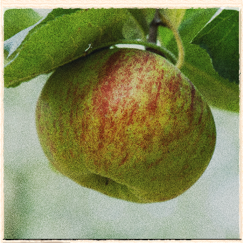 Our Apple For October: Bramley's Seedling