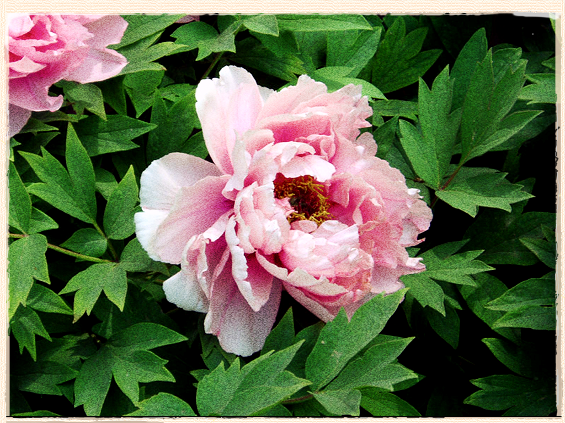paeonia suffruticosa © copyright Fanghong