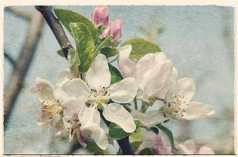 Rival blossom