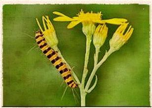 cinnabar moth caterpiller by Quartl