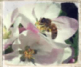 Lane's Prince Albert blossom