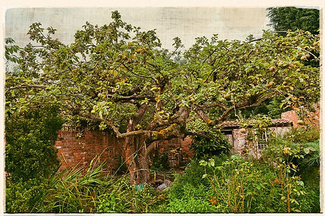 original Bramley tree, Southwell
