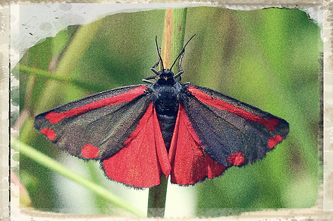 cinnabar moth by Charles J Sharp