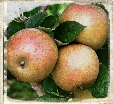Our Apple for February: Ashmead's Kernel