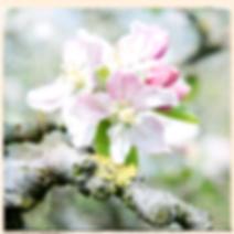 cb blossom.png