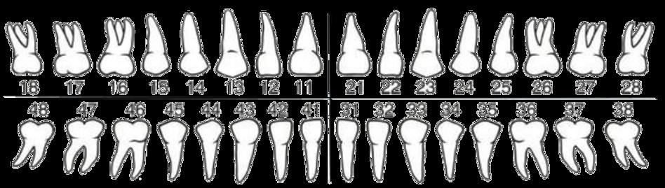 зубы без фона .png