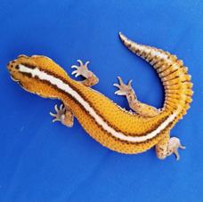 Patternless AFT Gecko