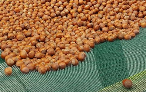 Fresh hazelnuts in shell