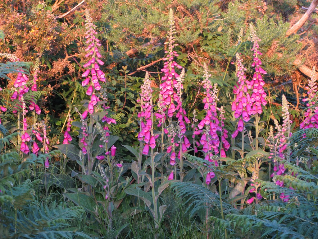 Foxgloves at the TOTW