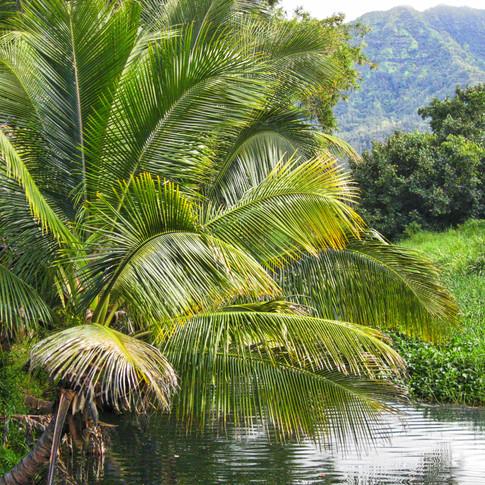 North Shore River Palm.jpeg