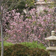 cherry blossoms 1.jpg