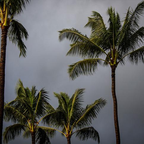 Palms Gray Sky 2 copy.jpg