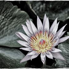 Waterlily #3_edit copy.jpg
