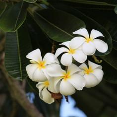White Plumeria 2.jpg