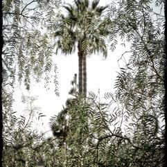 old palm 1.jpeg.jpg