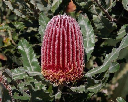 Banksia menziesii, funerals, flowers